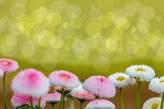 Spring meadow background. Beautiful pink and white sunny flowers with blurred natural green bokeh background, selective focus royalty free stock image