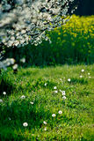 Spring meadow in bloom Stock Image