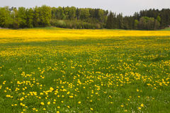 Spring meadow with blooming dandelion Stock Image