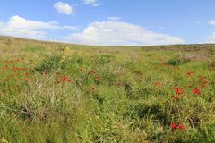Spring meadow with  blossoming of red anemones flowers Royalty Free Stock Images