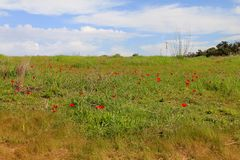 Spring meadow with  blossoming of red anemones flowers Stock Photo