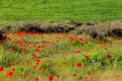 Spring meadow with  blossoming of red anemones flowers Royalty Free Stock Photo