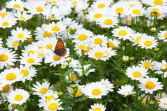 Spring Meadow with Butterfly Royalty Free Stock Photo