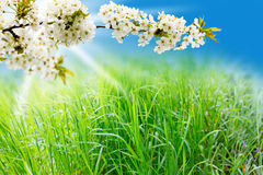 Spring meadow and cherry blossoms Stock Photos