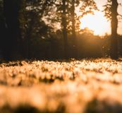 White poplar fluff covering the field at sunset stock image