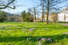 Spring meadow with crocuses Stock Photography
