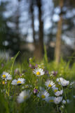 Spring meadow with daisies background Stock Image