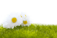 Spring meadow with daisies or chamomile in grass Stock Photos