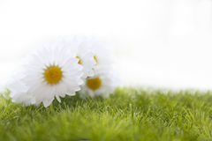 Spring meadow with daisies or chamomile in grass Royalty Free Stock Photo