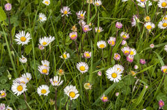 Spring meadow with daisies. Flowers as floral background Stock Photos