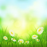 Spring meadow with daisies Royalty Free Stock Photos