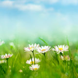 Spring meadow with daisies Stock Photography