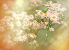Spring in meadow - daisy flower Stock Photo