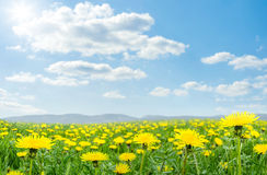 Spring meadow with  dandelion Stock Image