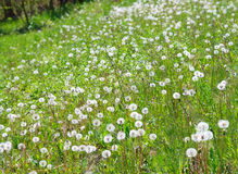 Spring meadow with dandelion flowers Royalty Free Stock Image
