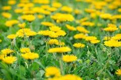 Spring in meadow - dandelion flowers Royalty Free Stock Photo