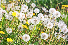 Spring meadow of dandelions Stock Image
