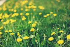 Spring meadow with dandelions Royalty Free Stock Image