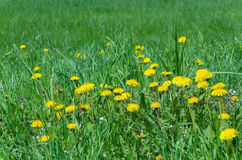 Spring meadow with dandelions Stock Photo