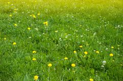 Spring meadow with dandelions and other spring flowers. Panoramic view of beautiful fresh green meadows and blooming flowers stock photo