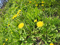 Spring meadow with dandelions. Spring meadow with yellow dandelions and wide angle fisheye lens view royalty free stock photos