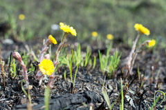 Spring meadow. environmental pollution bottles. yellow flowers coltsfoot Stock Image