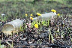 Spring meadow. environmental pollution bottles. yellow flowers coltsfoot Stock Photo