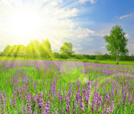 Spring meadow with flower Royalty Free Stock Photos