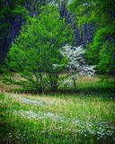 Spring Meadow. A flowering Dogwood tree in spring in Asheville, North Carolina. Meadow of aster flowers and wild grasses surround it royalty free stock photos