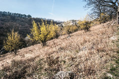 Spring meadow with flowerings cornus mas plants in Palava mountains in South Moravia. Spring meadow with flowering cornus mas plants, rocky hill on the Royalty Free Stock Images