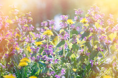 Spring meadow with flowers bathed in sunlight Royalty Free Stock Photography