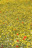 Spring Meadow flowers, Crete Royalty Free Stock Photography