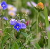Spring meadow flowers, South Bohemia Royalty Free Stock Images