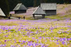 Spring meadow full of blooming crocus flowers Royalty Free Stock Images
