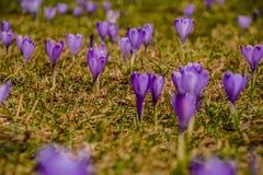 Meadow full of purple crocus vernus. Spring meadow full of blooming purple crocus vernus. Beautiful sping flowering stock images