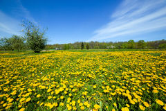 Spring meadow full of dandelions flowers and green grass. Stock Photo
