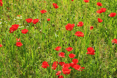 Spring Meadow full of red Weed Royalty Free Stock Image