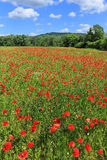 Spring Meadow full of red Weed Stock Image