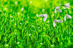 Spring meadow with galanthus Royalty Free Stock Photography