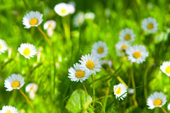 Spring Meadow With Golden Daisies. Royalty Free Stock Images