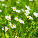 Spring Meadow With Golden Daisies. Royalty Free Stock Photo