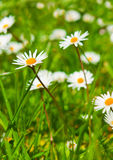 Spring Meadow With Golden Daisies. Stock Photography