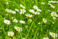 Spring Meadow With Golden Daisies. Stock Photo