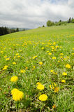 Spring meadow with green grass and dandelions Stock Photography