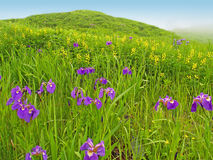 Spring meadow landscape with violet flowers Royalty Free Stock Photo