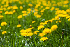 The spring meadow Royalty Free Stock Image