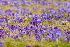 Spring meadow with lots of crocus flowers in full blossom Royalty Free Stock Photo