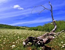 Spring Meadow. In the Owyhee mountains, log, snag, flowers, green,white,dead Stock Image