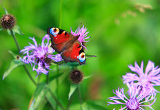 Spring meadow and peacock butterfly Royalty Free Stock Image