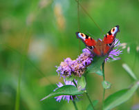 Spring meadow and peacock butterfly Royalty Free Stock Photo